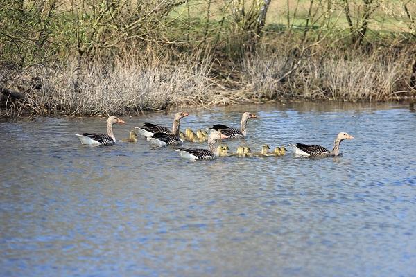 Familienverband von Graugänsen auf dem Wasser